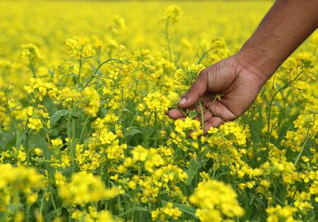 mustard field: Farmers hand holds flowers in a mustard field