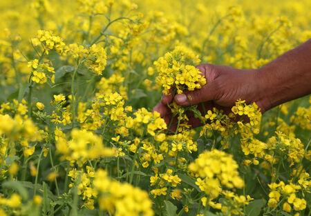 mustard field: Hand holding yellow flowers in a mustard field