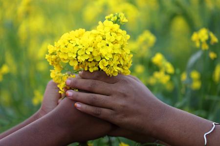 mustard field: Hands holding bunch of mustard flowers in a field Stock Photo