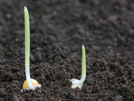 Close up of Corn germination on fertile soil photo