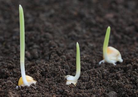 crecimiento planta: Cierre de ma�z germinaci�n en suelo f�rtil Foto de archivo