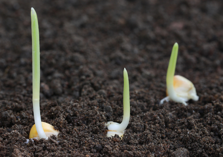 plant growth: Close up of Corn germination on fertile soil