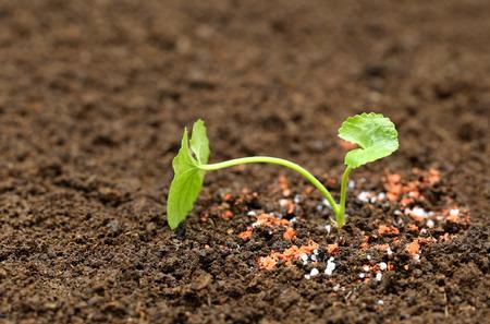 chemical fertilizer: Medicinal thankuni plant on ground with chemical fertilizer Stock Photo