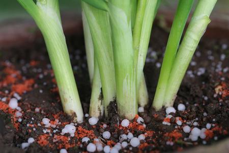 urea: Onion plant with chemical fertilizer in soil