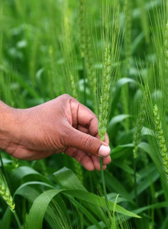 cereals holding hands: Hand holding green wheats in a field