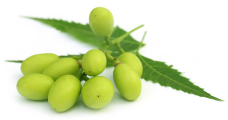 Medicinal neem fruits with twigs over white background