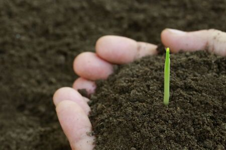Close up of Corn seedlings hand full of soil photo