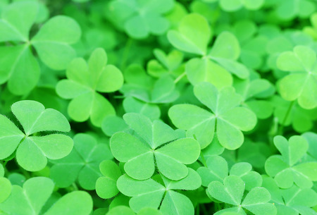 festal: Background of lush green clover leaves Stock Photo