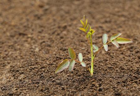 fertile: Rose plant in fertile soil Stock Photo