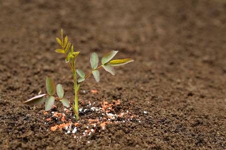 urea: Close up of a rose plant in fertile soil with chemical fertilizer