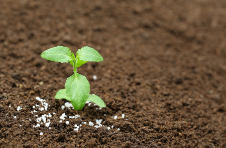 urea: Close up of a holy basil plant in fertile soil with chemical fertilizer Stock Photo