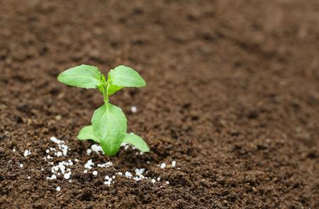chemical fertilizer: Close up of a holy basil plant in fertile soil with chemical fertilizer Stock Photo