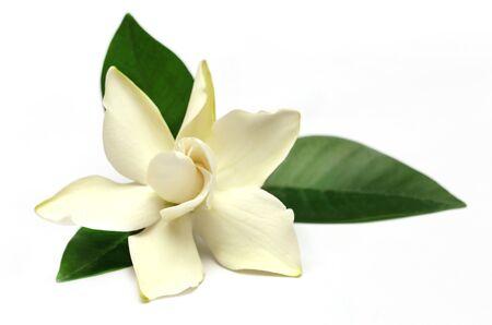 Gardenia or Gondhoraj flower of Southern Asia over white background