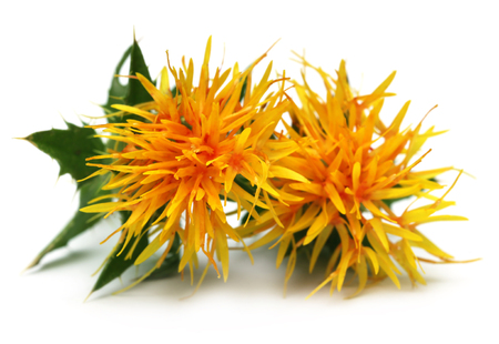 surrogate: Yellow Safflower over white background
