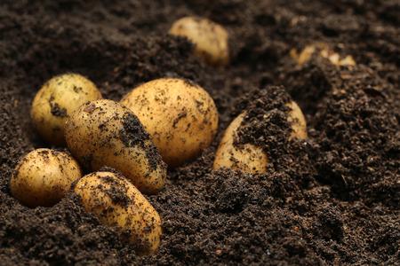 토양에 새로 채취 한 감자 스톡 콘텐츠