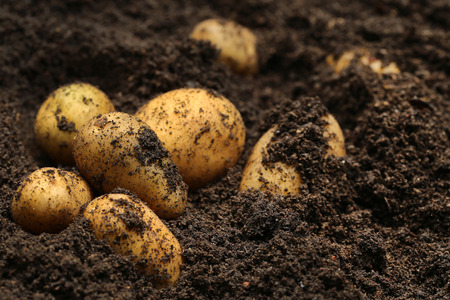 plant roots: Newly harvested potatoes in soil Stock Photo