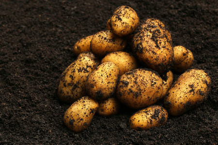 harvested: Newly harvested potatoes in soil Stock Photo