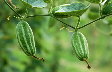 Close up of green pointed gourd in vegetable garden
