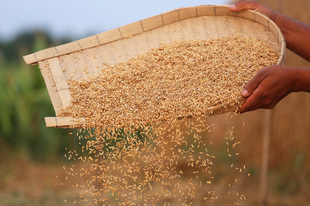 subcontinent: Processing golden paddy seeds in Indian subcontinent
