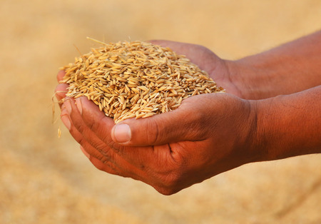 subcontinent: Hand holding golden paddy seeds in Indian subcontinent