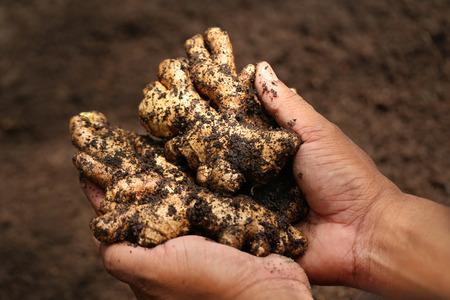jengibre: Mano que sostiene un poco de jengibre recién cosechado Foto de archivo