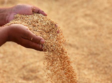 de seed: Mano que lleva semillas de arroz de oro en subcontinente indio