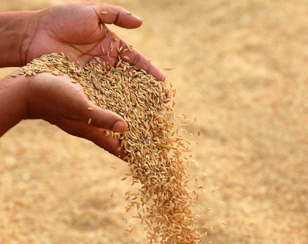 cereals holding hands: Hand holding golden paddy seeds in Indian subcontinent