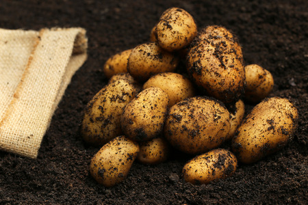 harvested: Newly harvested potatoes with sack