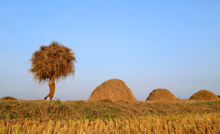 harvest: A Bangladeshi people carries bunch of newly harvested paddy Stock Photo