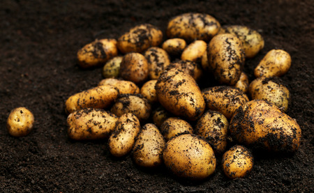 harvested: Newly harvested potatoes in field