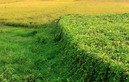 green meadows: Green meadows and vegetable field in rural Bangladesh Stock Photo