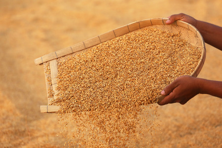 subcontinent: Cleaning of golden paddy seeds in Indian subcontinent Stock Photo