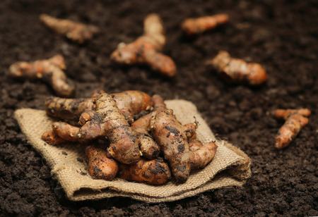 harvested: Newly harvested Turmeric in cultivated soil