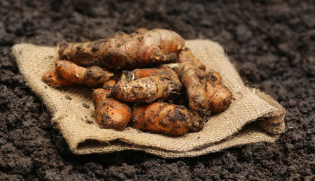 curcumin: Newly harvested Turmeric in cultivated soil