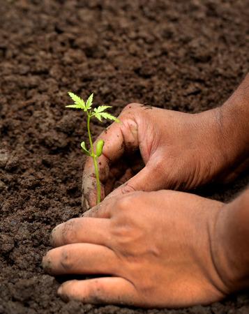 neem: Planting neem plant in fertile soil