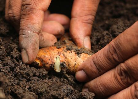 Planting turmeric in fertile soil Stock Photo