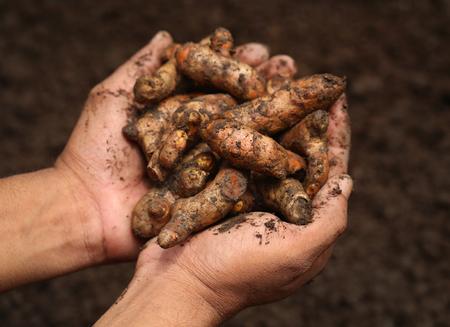 peppery: Hand holding soem newly harvested turmeric