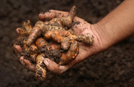 curcumin: Newly harvested Turmeric in hand