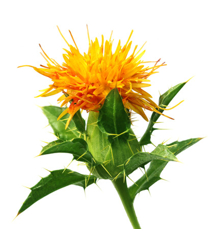 safflower: Safflower with leaves over white background Stock Photo