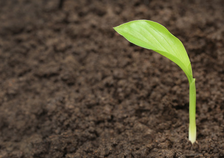 soil: Turmeric seedling in fertile soil Stock Photo