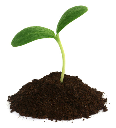 Pumpkin seedling on soil over white background Imagens