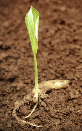 fertile: Turmeric seedling in fertile soil Stock Photo