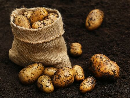 harvested: Newly harvested potatoes in sack and ground