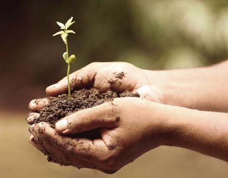 neem: Hands holding a tender medicinal neem plant