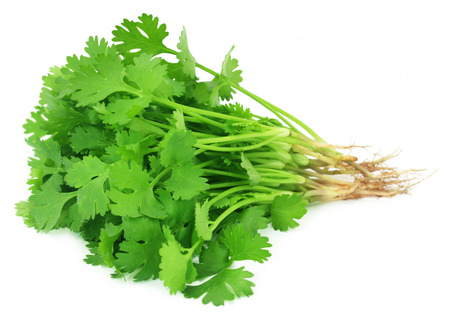medicinal leaf: Bunch of fresh coriander leaves over white background