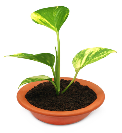money plant: Money plant in a bowl with fertile soil over white background