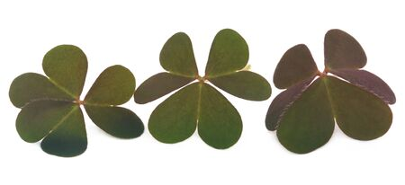 festal: Clover leaves over white background