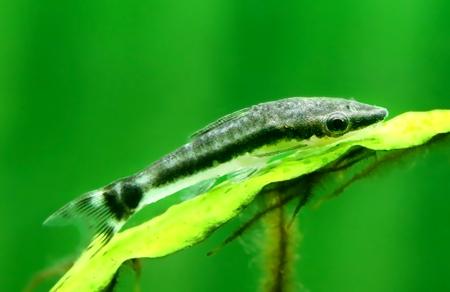 vittatus: Closeup of an otocinclus in planted aquarium Stock Photo