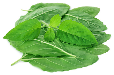 tulsi: Medicinal holy basil or tulsi leaves over white background