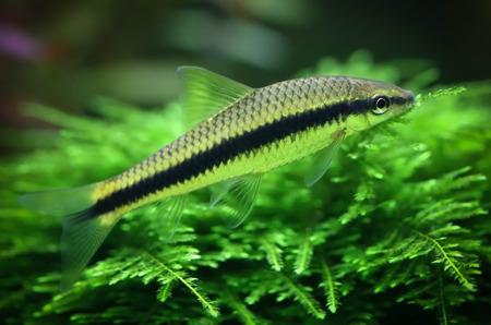 aquarist: Siamese algae eater in planted aquarium Stock Photo